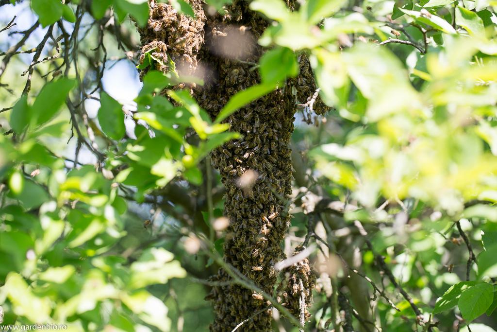 Primul roi de albine se așează în copac sub formă de ciorchine la 10-15 m de stup
