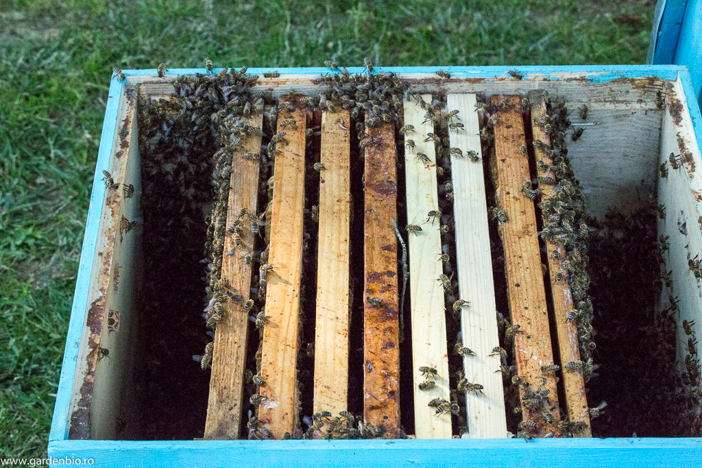 Roiul ajunge în cele din urmă în stup și am încă o familie de albine :)