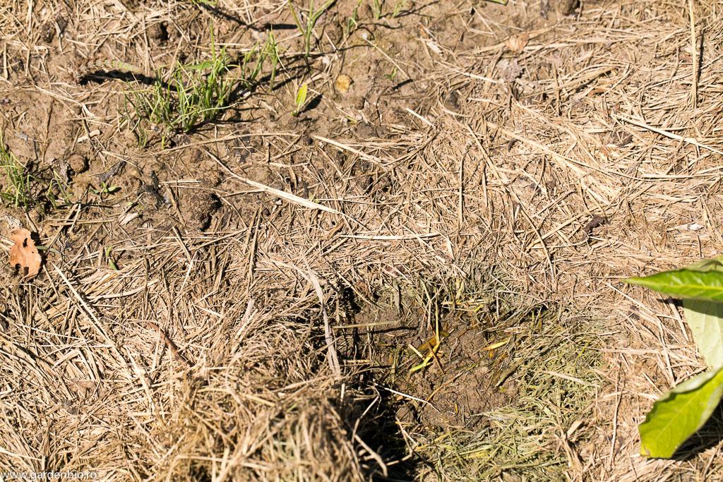 Solul mulcit menține umezeala în sol