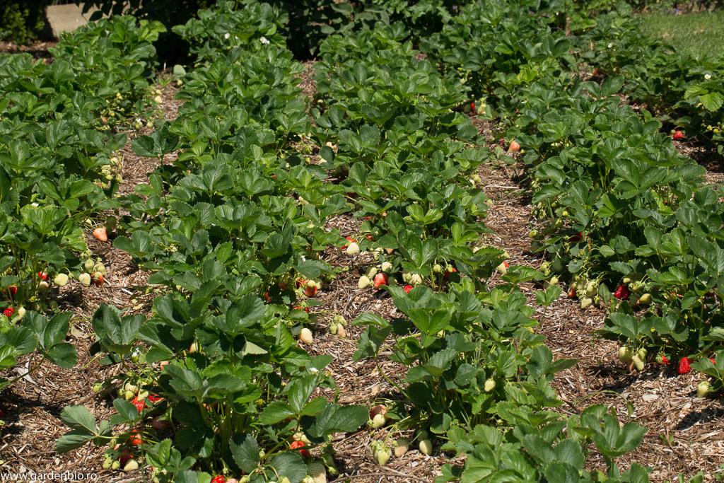 Stratul principal din grădină cu căpșuni, mulcit cu crengi tocate