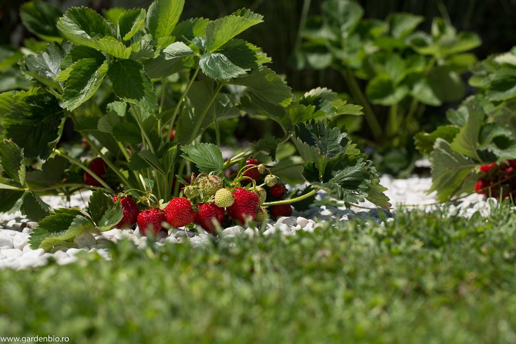 Tufă de căpșuni Alice