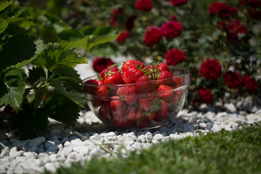 Recoltă de căpșuni Alice