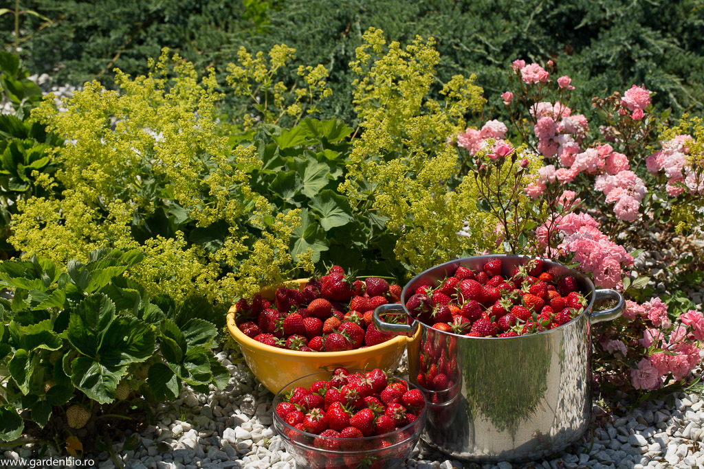 Recolta de căpșuni din grădină dintr-o zi