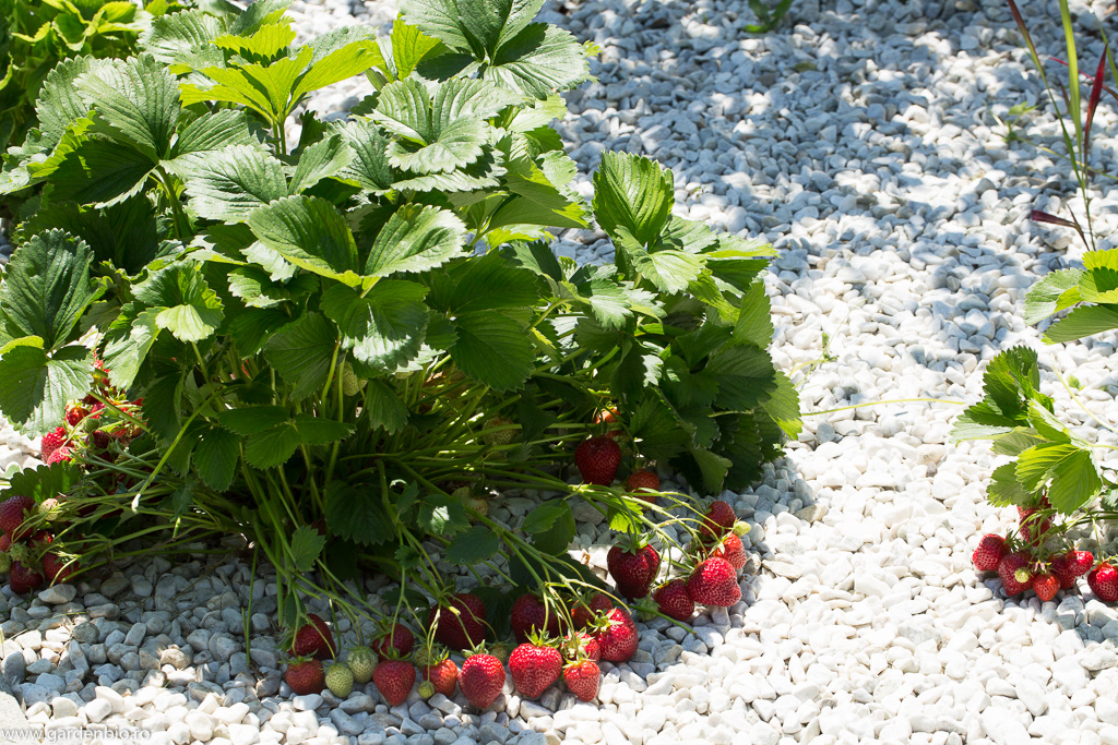 Tufă de căpșuni din grădină