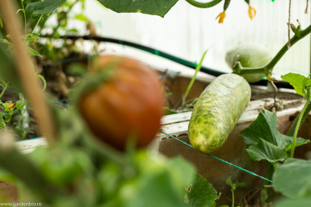Castraveti Telegraph pentru semințe