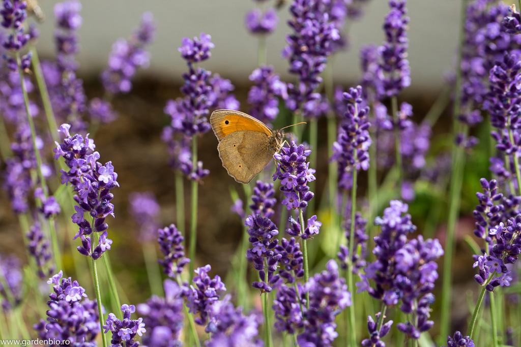 Fluturele Maniola jurtina, cel mai des întâlnit la florile de lavandă