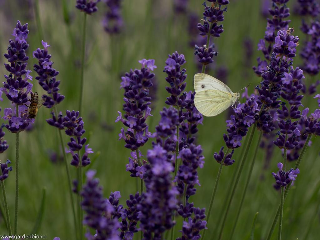 Fluturele alb culege nectarul din florile de lavandă