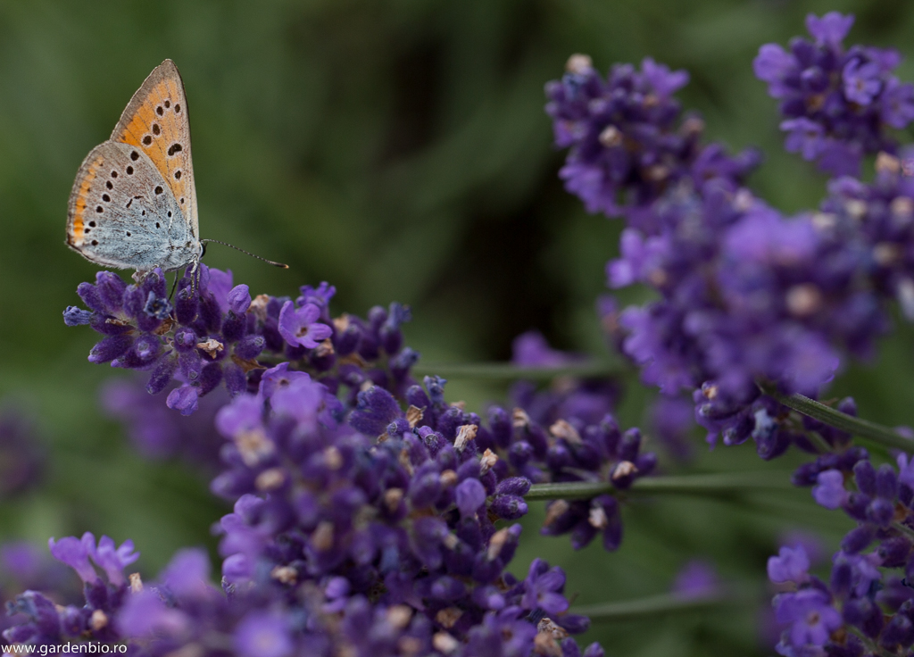 Fluturele purpuriu (Lycaena dispar)