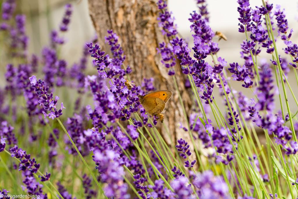Maniola jurtina şi albine pe florile de lavandă