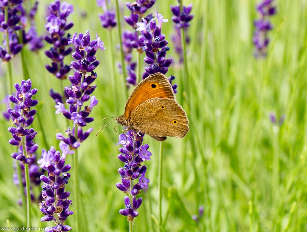 Maniola jurtina culege nectarul din florile de lavandă