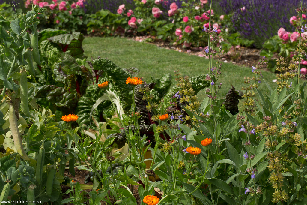 Galbenelele - companioni benefici in stratul cu legume