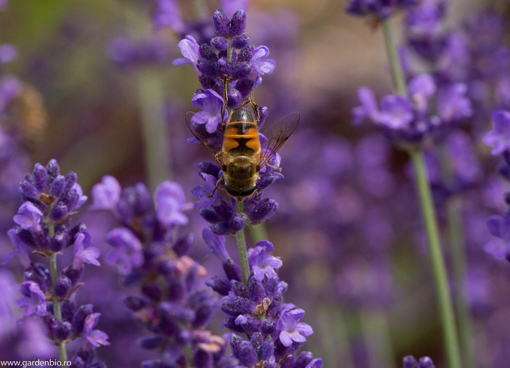 Lavanda - o atracție pentru muștele din familia Syrphidae