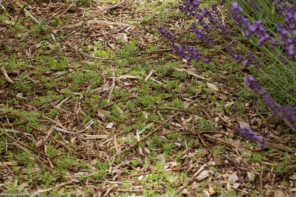 Butași de lavandă răsăriți din semințele căzute anul trecut