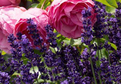 Lavanda, plantă ușor de cultivat, o atracție irezistibilă pentru insecte