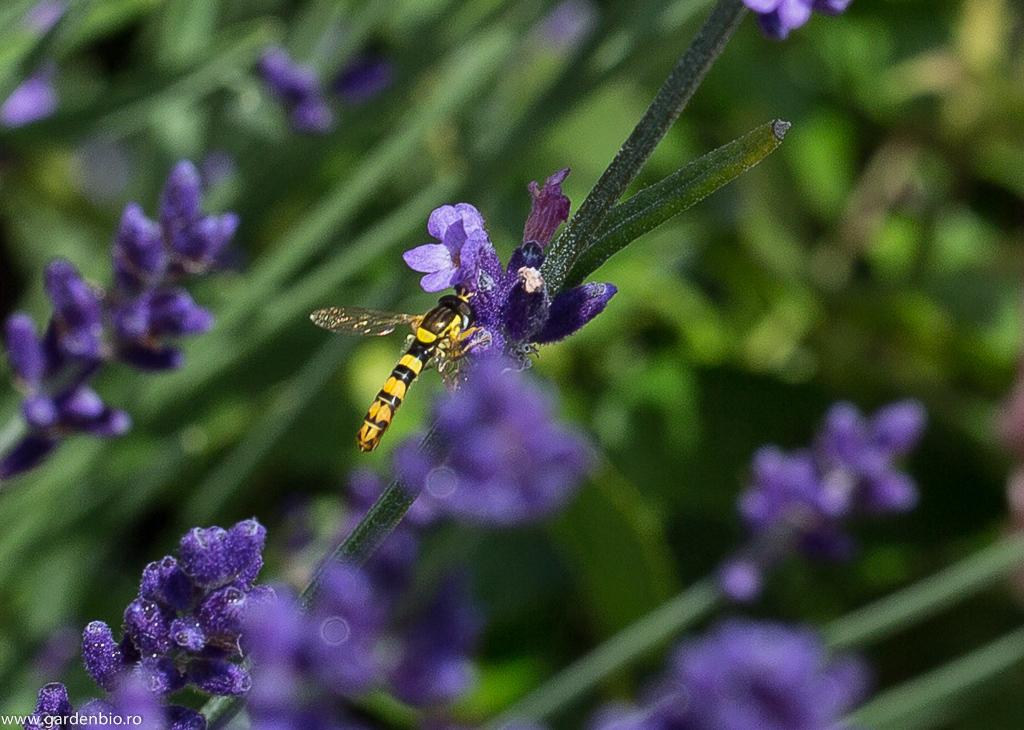 Muscă din familia Syrphidae - Sphaerophoria scripta, culege nectarul din florile de lavandă