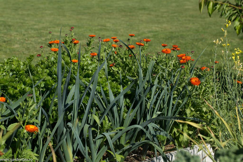 Gălbenele, praz și țelină
