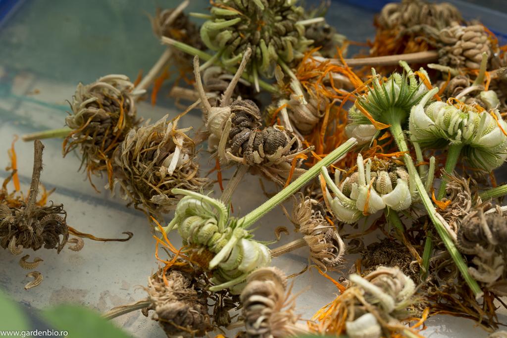 Recoltă de semințe de gălbenele pentru anul viitor
