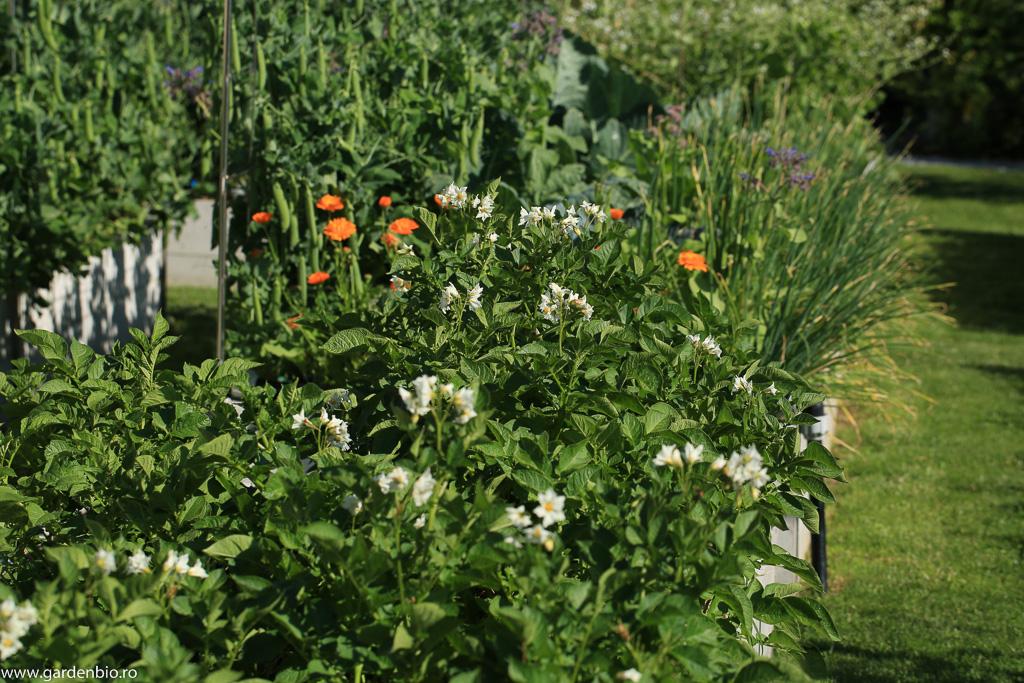 Strat cartofi înfloriți, soiurile British Queen și Linda