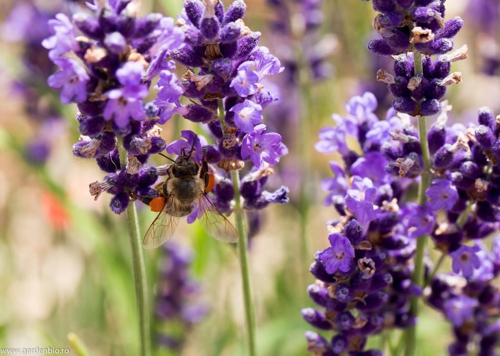 Albină colectând polenul din florile de lavandă