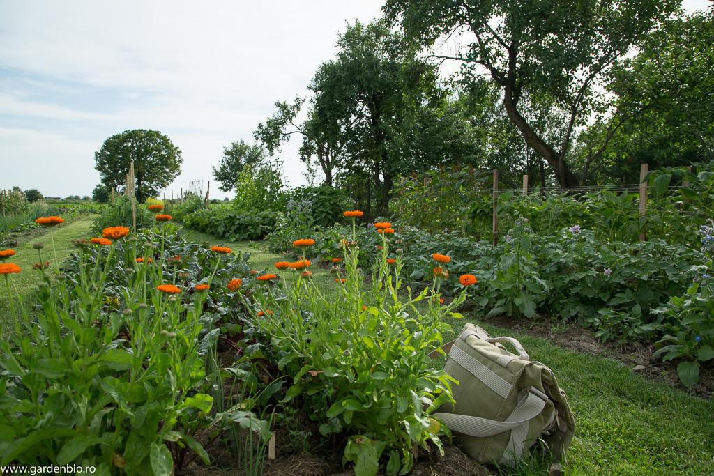 Gălbenele - companioni benefici pentru grădina de legume