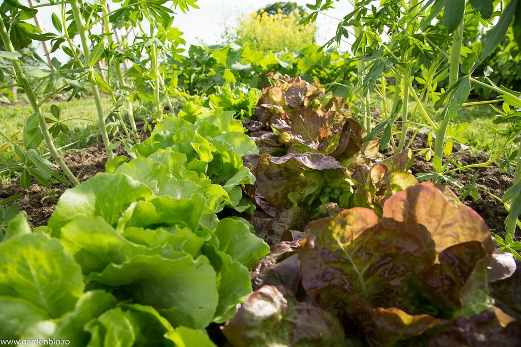 Distanţa mică dintre plante crează un microclimat benefic pentru microorganisme, menţine umiditatea solului.