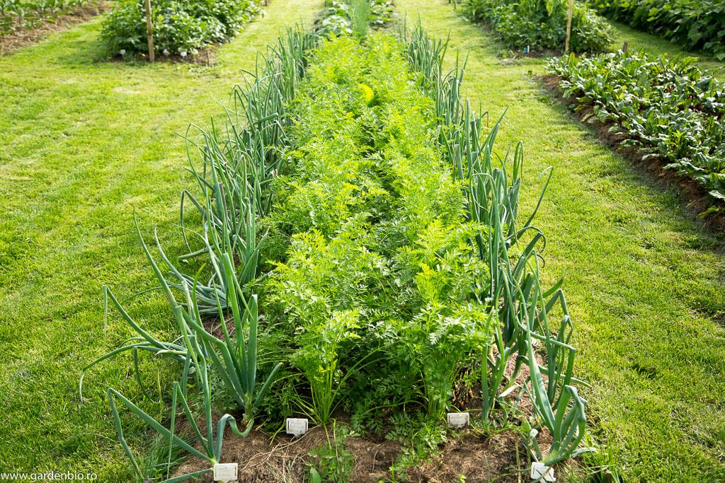 Morcovii s-au dezvoltat frumos alături de ceapă, doi companioni potriviți în stratul din grădina de la țară