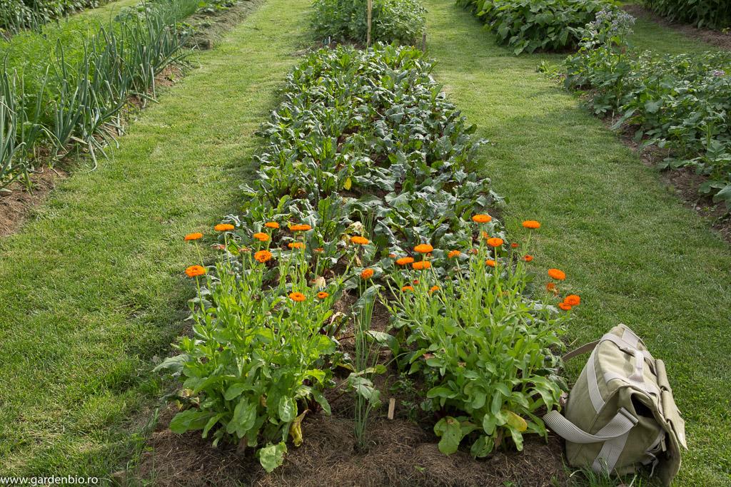 Grădina de la țară în 2016 - sfeclă roșie și gălbenele