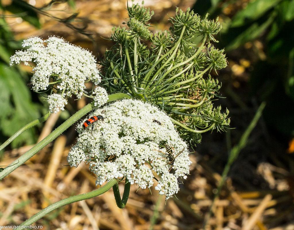 Viespi, Mylabris și albine pe florile de morcovi