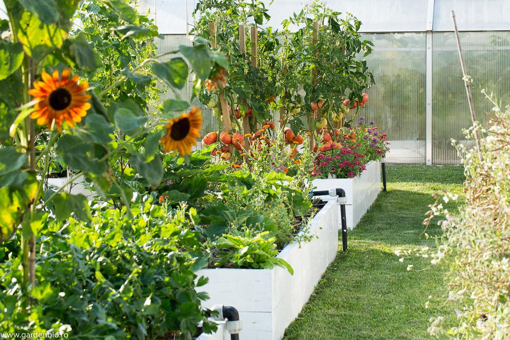 Floarea soarelui şi cârciumărese în straturile de legume