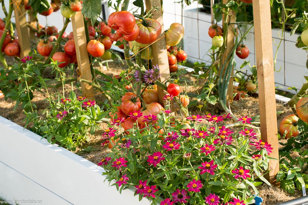 Roșii acompaniate în strat de cârciumărese Cherry și roiniță Lemon
