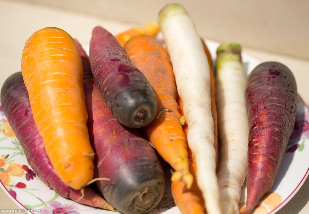 Recoltă de morcovi diferite culori