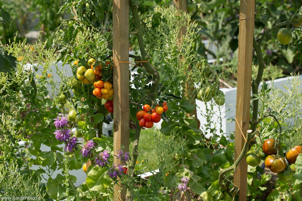 Roşii Reisetomate, salată Buttercrunch înflorită pentru seminţe şi roiniţă Lemon
