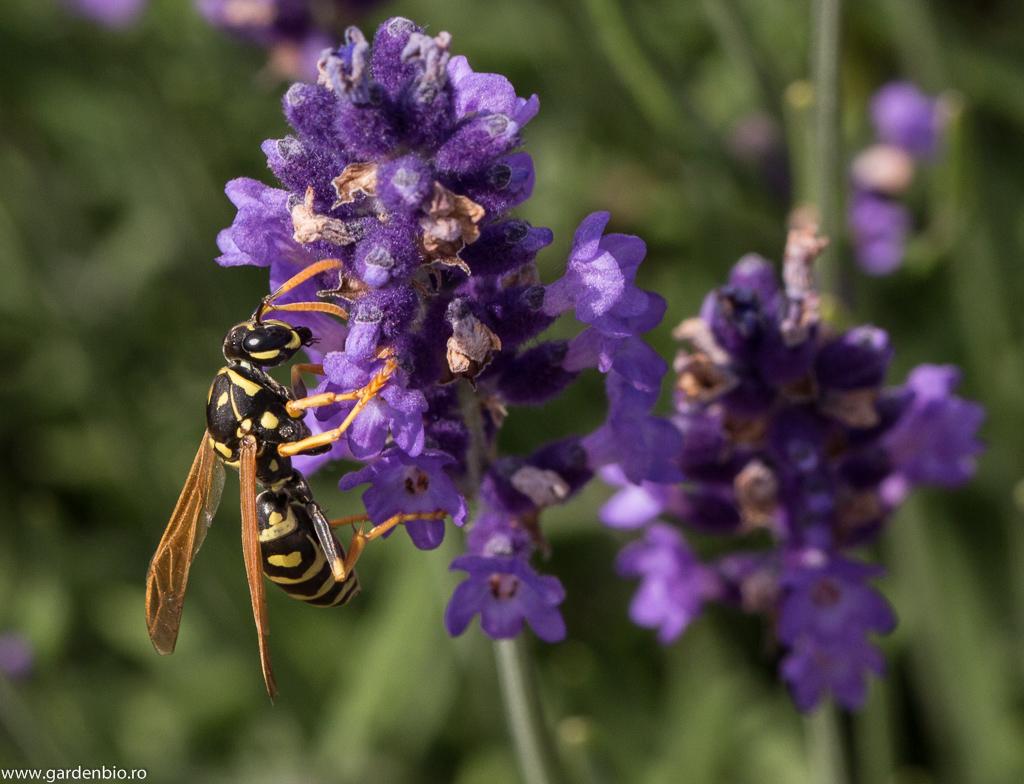 Viespe atrasă de nectarul florilor de lavandă