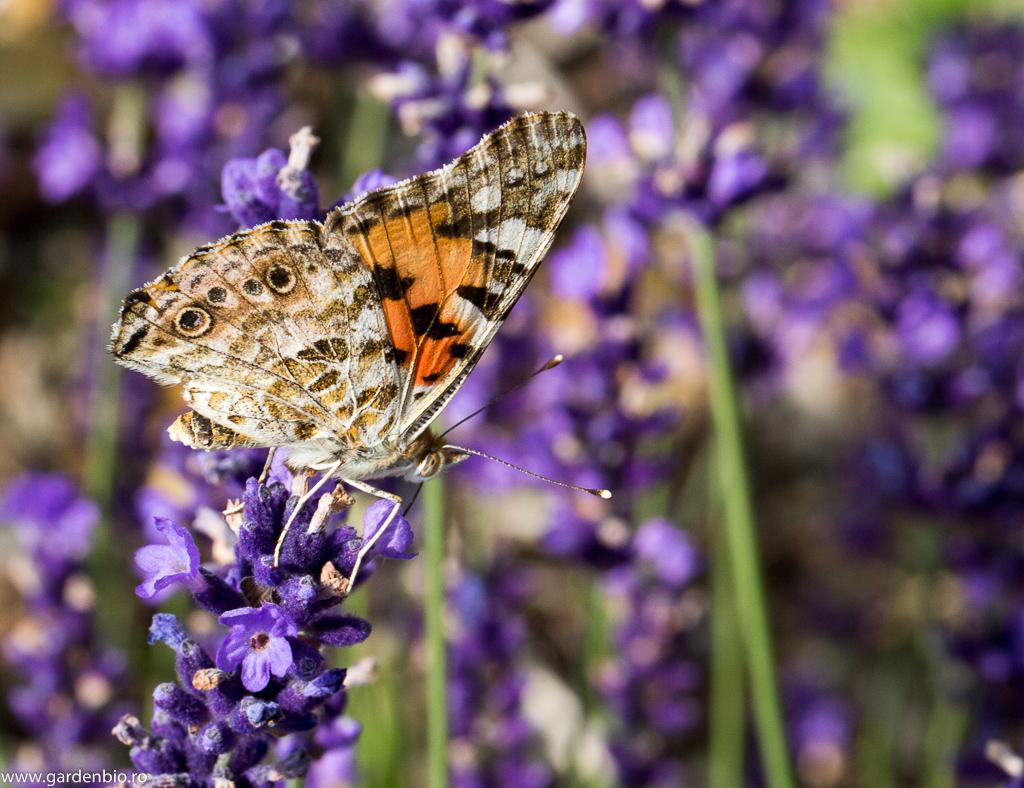 Fluture Cynthia cardui culege nectarul din florile de lavandă