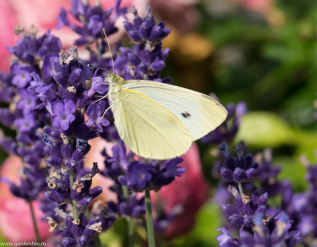 Fluturele alb