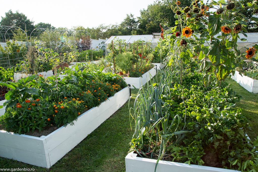Crăiţe şi floarea soarelui în straturile de legume