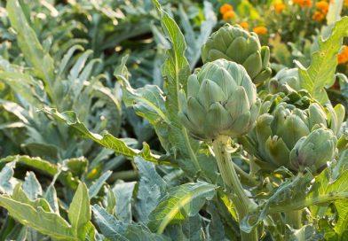 Anghinarea, o plantă minunată din grădina de la țară