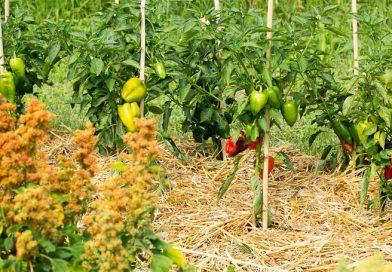 Avantajele mulcirii straturilor din grădină
