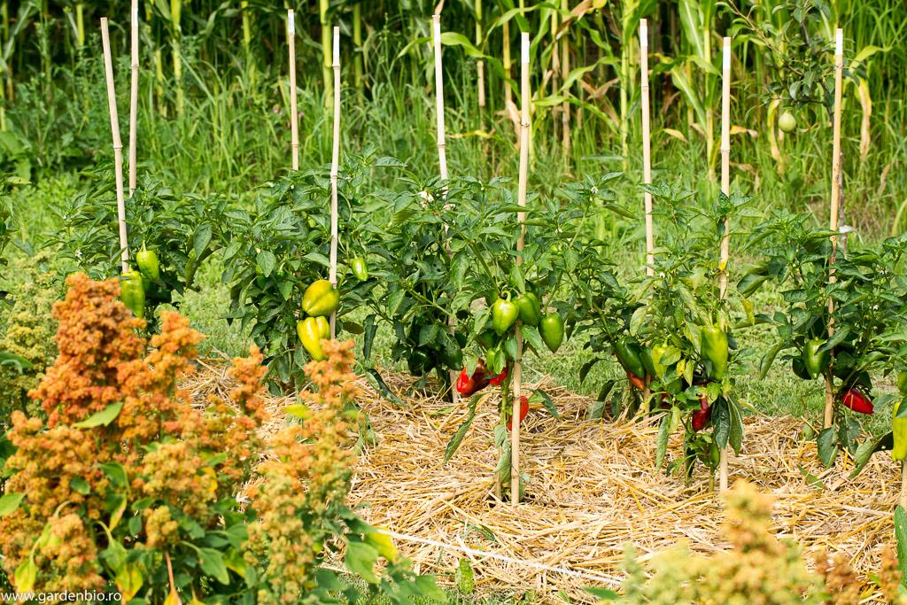 Ardei Jubilanska și quinoa în grădina de la țară