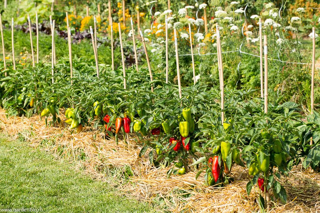 Ardei Jubilanska în grădina de la țară