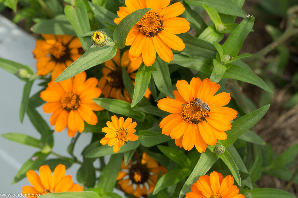 Cârciumărese (zinnia) Profusion Orange