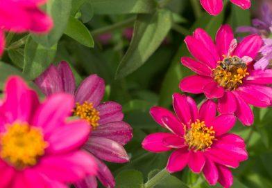Cârciumăresele – companionii preferați în grădina de legume din acest sezon