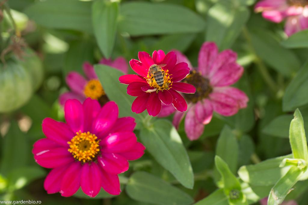 Nectarul și polenul florilor de cârciumărese este râvnit și de albine
