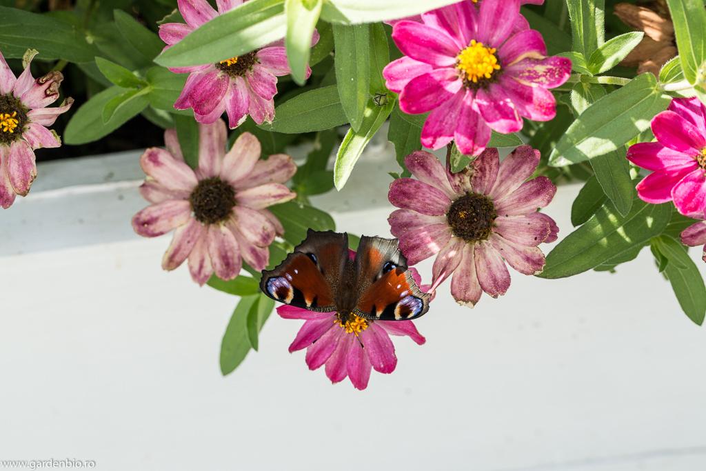Spectacolul naturii, în roluri: fluturele Ochi de Păun și flori de cârciumărese :)