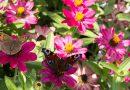 Cum să atragem fluturii în grădină