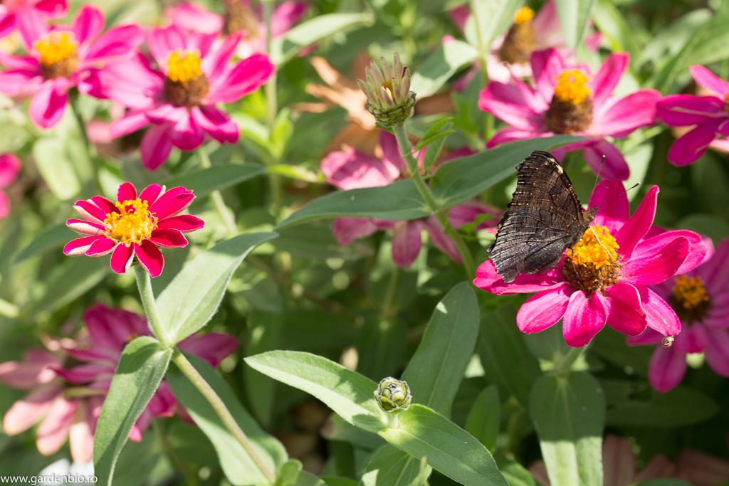 Fluturele Ochi de Păun culege nectarul florilor de cârciumărese