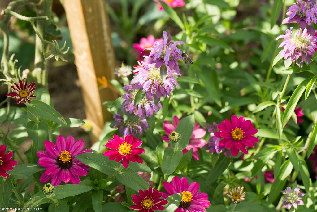 Roiniţa, plantă meliferă, cercetată intens de albine