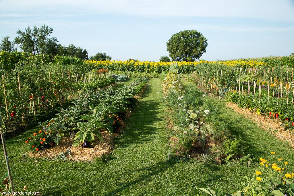 Strat cu vinete, acompaniat de crăițe, în grădina de la ţară
