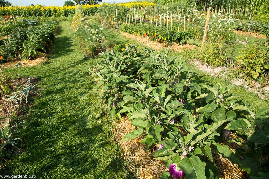 Strat cu vinete Rosa Bianca în grădina de la ţară