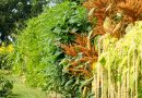 Prima recoltă de amarant